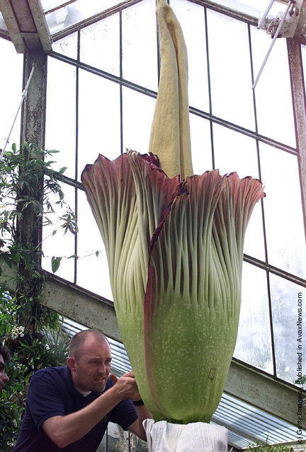 The world's largest and most pungent flower known as Amorphophallus titanum or the Titan Arum