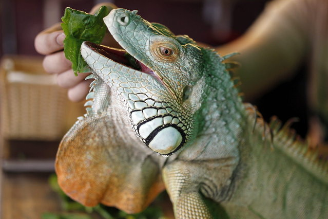 A man feeds an iguana in a cafe in Hanoi, Vietnam. (Photo by Luong Thai Linh/EFE)