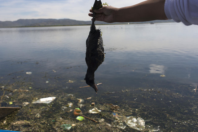 """In this February 4, 2017 photo, environmental activist Maruja Inquilla holds a dead bird called a """"Choca"""", on the shore of Lake Titicaca, in Coata, in the Puno region of Peru. Untreated sewage water drains from two dozen nearby cities, and illegal gold mines high in the Andes dump up to 15 tons of mercury a year into a river leading to the lake. (Photo by Rodrigo Abd/AP Photo)"""