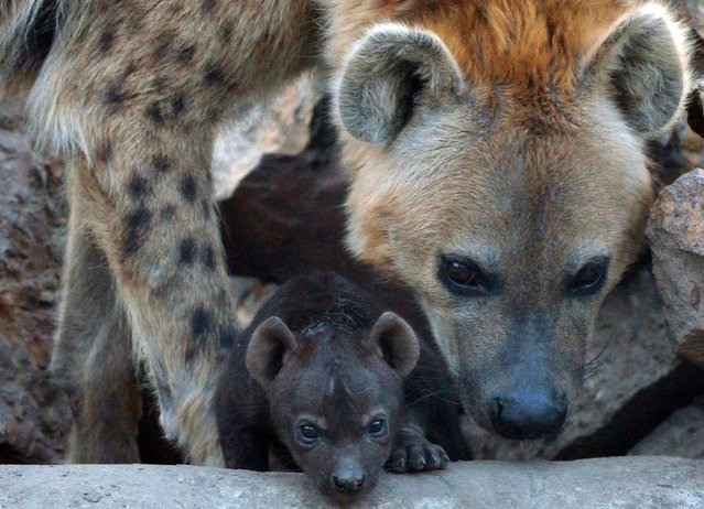 A newly born spotted hyena (Crocuta crocuta) baby is seen with its mother at the Animal Garden in Szeged, Hungartat the Serbian border on March 17, 2014. (Photo by Csaba Segesvari/AFP Photo)
