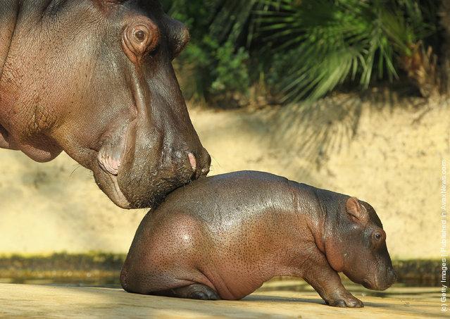 A baby hippopotamus
