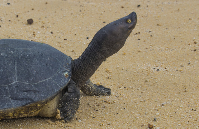 In this June 24, 2015, photo released by Wildlife Conservation Society, a Cambodian Royal Turtle walks on the sand of Sre Ambel river bank, in Koh Kong province, in western Phnom Penh, Cambodia. Cambodia's Royal Turtle is nearly extinct, with fewer than 10 left in the wild, because increased sand dredging and illegal clearance of flooded forest have shrunk its habitat, a conservationist group warned Monday, April 25, 2016. (Photo by Wildlife Conservation Society via AP Photo)
