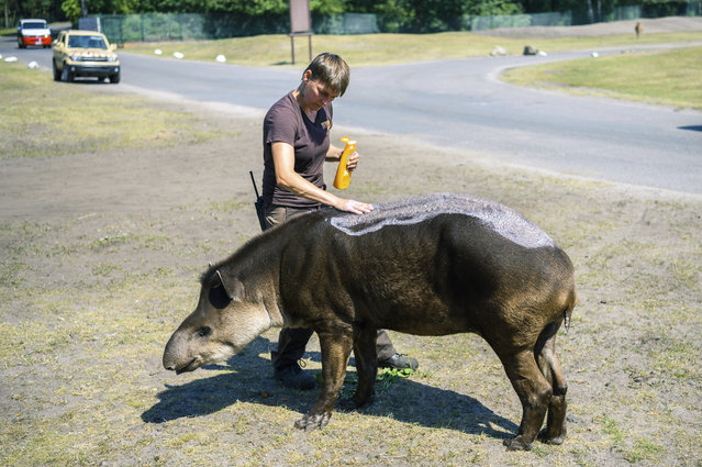 An animal keeper puts suntan lotion on a lowland tapir during the hot summer weather in an animal park in Hodenhagen, Germany, Wednesday, June 26, 2019. Germany faces a heatwave with high temperatures and UV radiation. (Photo by Mohssen Assanimoghaddam/dpa via AP Photo)
