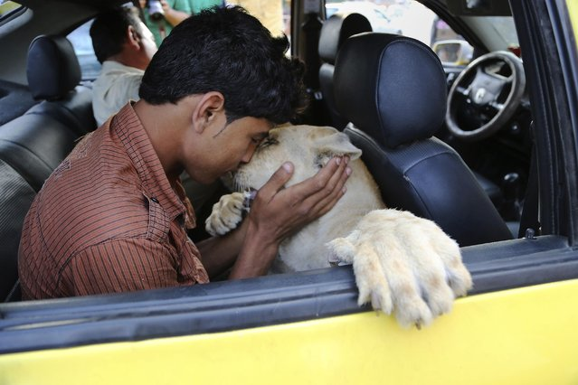 In this Monday, June 15, 2015 photo, Ibrahim Al-Jamal, 17, kisses Max, the male lion cub, while sitting inside a car in Gaza City, in the northern Gaza Strip. (Photo by Adel Hana/AP Photo)