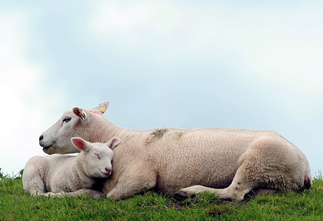 A lamb cuddles with its mother on the Ems dike near Leer, Germany, 18 April 2014. Lamb is a traditional dish at Easter. (Photo by Ingo Wagner/EPA)