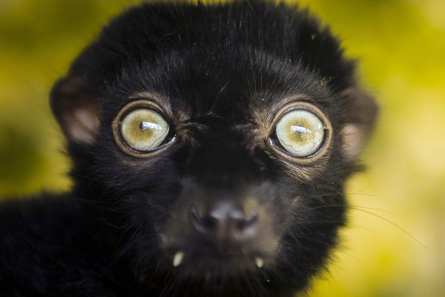 A blue-eyed black lemur displays his green-blue eyes at Bristol Zoo Gardens, England on April 29, 2016 where a recently built enclosure is enriching the lives of the almost extinct species, which are one of the only other primates alongside humans to have consistently blue eyes. (Photo by Ben Birchall/PA Images/Startraksphoto.com)