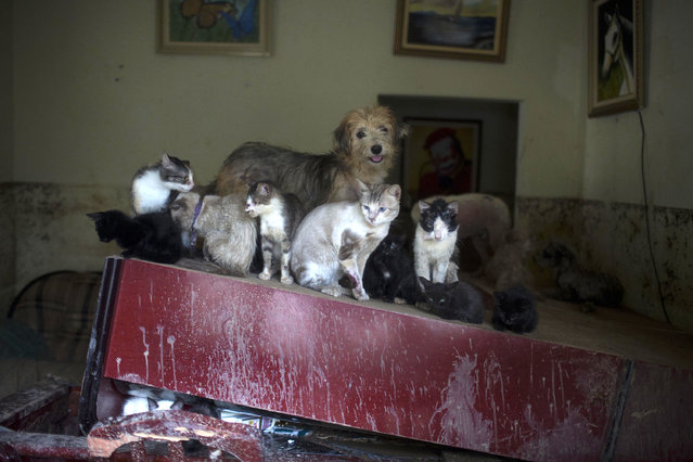 Cats and dogs seek refuge on top of a piece of furniture in a home flooded by heavy rains in the Xerem neighborhood, about 31 miles north of Rio de Janeiro, Brazil, Thursday, January 3, 2013. Nearly 8.5 inches of rain fell in just 24 hours in the mountainous region north of Rio. Hard rains in Brazil are creating a state of alert in Rio de Janeiro and in nearby spots where flood-triggered mudslides have killed hundreds in recent years. (Photo by Felipe Dana/AP Photo)