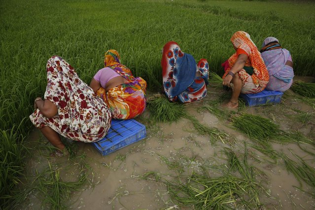 Indian farmers plant paddy saplings after monsoon rains at Sherpur village, north of Allahabad, India, Sunday, July 12, 2015. (Photo by Rajesh Kumar Singh/AP Photo)