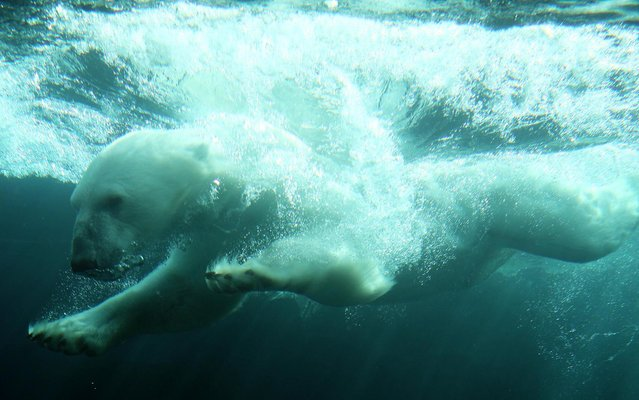A polar bear jumps into the water in its new enclosure during warm and sunny weather at the Schoenbrunn Zoo in Vienna, Austria, on Thursday, May 22, 2014. The Austrian capital expects temperatures up to 28 degrees Celsius (82,4 Fahrenheit) for Thursday. (Photo by Ronald Zak/AP Photo)
