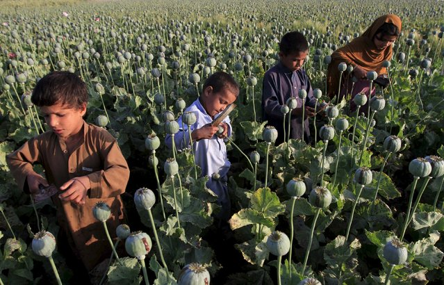 Afghan children work on a poppy field on outskirts of Jalalabad, April 28, 2015. (Photo by Reuters/Parwiz)