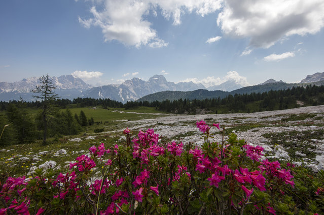 Wildflowers bloom near the Rifugio Croda da Lago in the Dolomite Mountains near Cortina d' Ampezzo in northern Italy July 15, 2015. (Photo by Bob Strong/Reuters)