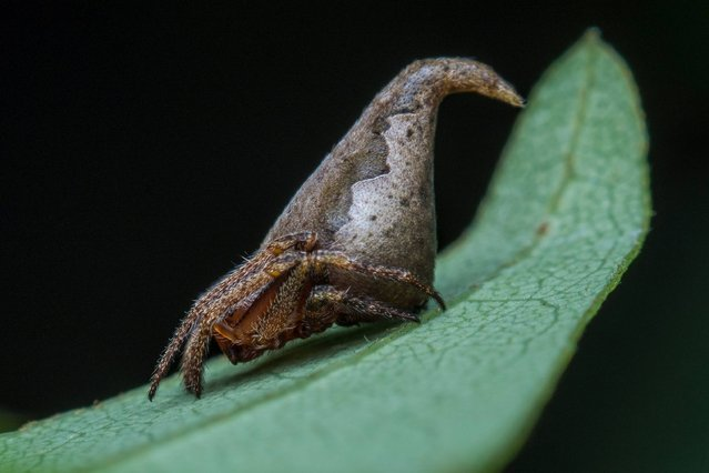 In this handout photograph received from Sumukha J.N on December 15, 2016, the newly-discovered spider Eriovixia Gryffindori sits on a leaf in the Kans in India's Western Ghats. (Photo by Sumukha J.N./AFP Photo)