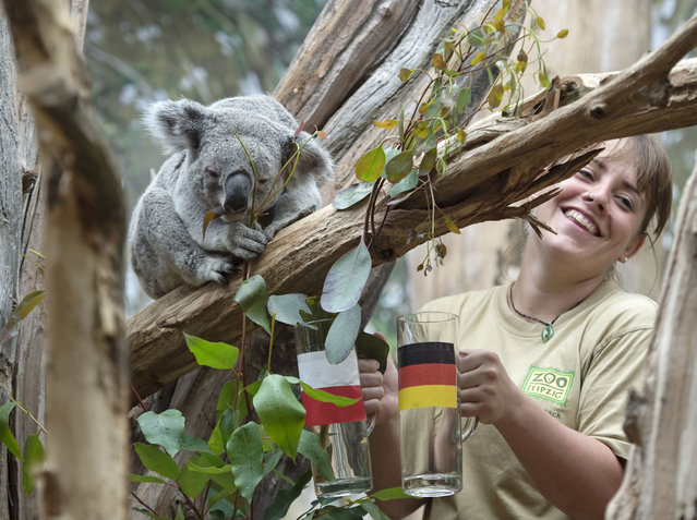 The male Koala Oobi-Ooobi predicts Germany to be the winner of the UEFA Euro 2016 match between Germany and Poland to be held tomorrow besides the zookeeper Juliane Ladensack at the Leipzig Zoo in Leipzig, central Germany, Wednesday, June 15, 2016. He took out the eucalyptus branch from the glass with the German flag. (Photo by Jens Meyer/AP Photo)