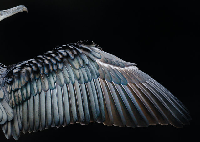 Wing Formation by Tom Hines, UK. Gold award winner in the attention to detail category. Detail of great cormorant wing (Phalacrocorax carbo) in Hyde Park, London. (Photo by Tom Hines/2017 Bird Photographer of the Year Awards)