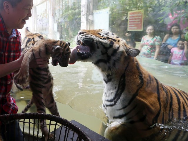 """Bengal tiger """"Cory"""" tries to lick her cub """"Tiger Duterte"""" from behind the glass cage as its presented to the media by Malabon Zoo owner Manny Tangco Thursday, July 14, 2016 at Malabon city north of Manila, Philippines. """"Tiger Duterte"""" and another cub """"Tiger Leni"""", both two months old, are named after the country's new president and vice-president respectively and are the offsprings of """"Tiger Cory"""" and """"Tiger Ninoy"""", named after the parents of former President Benigno Aquino III. (Photo by Bullit Marquez/AP Photo)"""