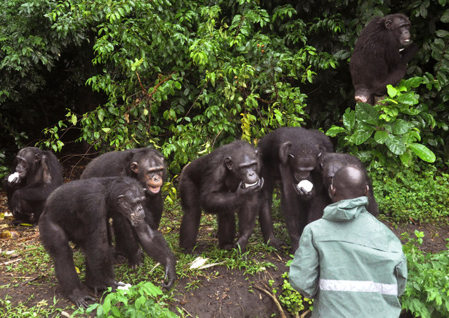 In this photo taken on Tuesday, August 18, 2015, a caretaker feeds chimpanzees on the six mangrove outcroppings that make up Chimpanzee Island, about 50 kilometers (31 miles) southeast of Liberia's capital, Monrovia. These chimpanzees are among 66 that were used for research for years. (Photo by Abbas Dulleh/AP Photo)