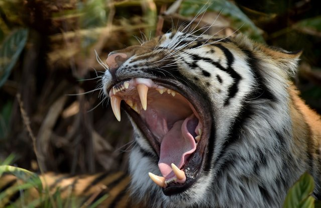 A 5-year-old male Sumatran tiger is seen yawning in Taronga Zoo in Sydney on September 13, 2017. Taronga Zoo has four Sumatran tigers, part of a conservation breeding program for this critically endangered species of which only around 500 exist in the wild in Indonesia. (Photo by Peter Parks/AFP Photo)