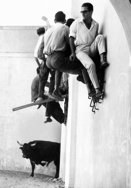"""What with a bull running around loose below can you blame these men for climbing up a wall? The bull was one of many turned loose during a """"Largada"""", something like the running of the bulls in the Spanish city of Pamplona, Spain, September 23, 1965. These bulls were running through the streets of Morita do Ribatejo in Portugal. Just goes to show that when it comes right down to facing an angry bull there are few as brave as the matador. (Photo by AP Photo)"""