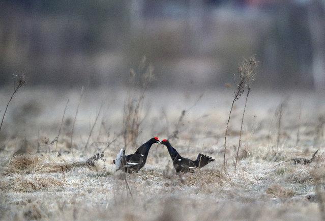Black grouses outside the village of Khotenchitsy in Minsk Region, Belarus on April 9, 2020. (Photo by Natalia Fedosenko/TASS)