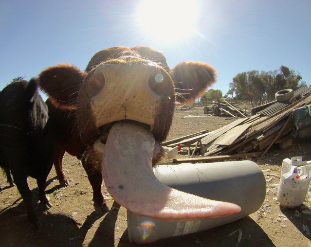 "PetCam includes hilarious ""artist statements"" written in the voice of these animal image-makers. Here is a photo Fiona took of another cow, Adrianna. (Photo by Chris Keeney/Princeton Architectural Press)"
