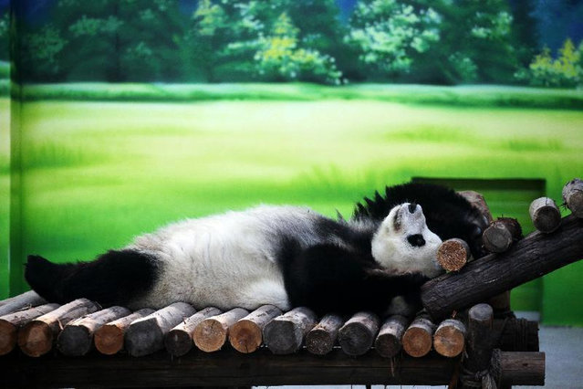 Ten-year-old giant panda Xin Yue