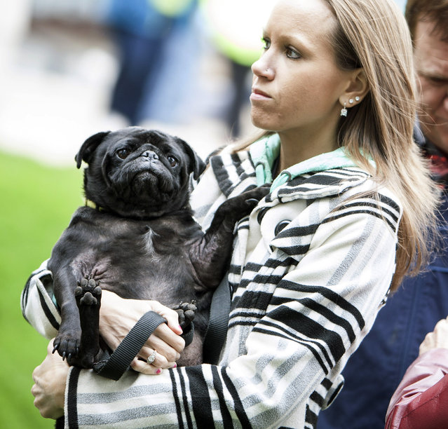 Nicole Dahlen of Ramsey holds her Pug named Kirby as they wait in line at the Blessing of the Animals at The Basilica of Saint Mary, Sunday October 5, 2014 in Minneapolis. (Photo by Courtney Perry/AP Photo/The Star Tribune)