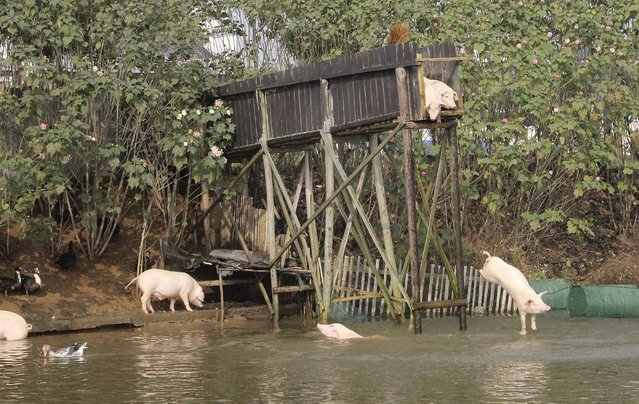 A pig dives into the water in Ningxiang county, Hunan province November 11, 2012. Villager Huang Demin drives his pigs to dive into the water from a 3-metre-high platform at least once a day, believing that the diving exercises would improve the quality and taste of the meat. He would later sell the meat of his pigs at three times higher than market prices, local media reported. (Photo by Stringer/Reuters)