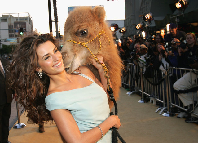 """Actress Penelope Cruz walks a camel down the carpet at the premiere of the film """"Sahara"""" on April 4, 2005 at Grauman's Chinese Theatre in Hollywood, California. (Photo by Vince Bucci/Getty Images)"""