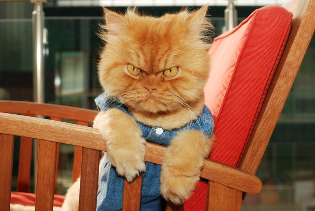 Meet Garfi, The Angriest Cat On The Internet