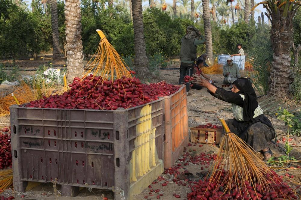 Harvest Season in Gaza Strip