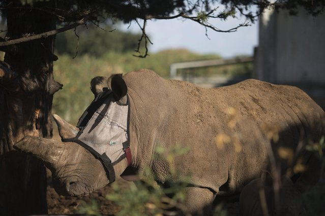 Tanda, 22, a two-ton rhinoceros wears a mask at the Zoological Center of Tel Aviv-Ramat Gan near Tel Aviv, Israel, Tuesday, November 4, 2014. Israeli specialists are helping Tanda, who has a chronic eye infection, to fend off flies that are worsening its condition with a custom made mask. (Photo by Ariel Schalit/AP Photo)