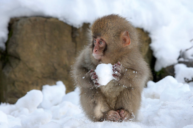 An adorable little monkey makes a snowball pictured by de VAULX Nicolas for the Comedy Wildlife Photo Awards 2016, Japan. (Photo by de VAULX Nicolas/Barcroft Images/Comedy Wildlife Photo Awards)