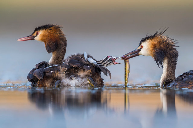 Winner – Behaviour, Birds: Great crested sunrise by Jose Luis Ruiz Jiménez, Spain. After several hours up to his chest in water in a lagoon near Brozas, in the west of Spain, Jiménez captured this intimate moment of a great crested grebe family. His camera floated on a U-shaped platform beneath the small camouflaged tent that also hid his head. (Photo by Jose Luis Ruiz/Wildlife Photographer of the Year 2020)