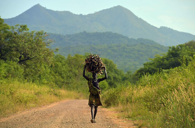 A woman from the Suri tribe carries firewood on her head in Ethiopia's southern Omo Valley region, near Kibbish, on September 25, 2016. The Suri are a pastoralist Nilotic ethnic group in Ethiopia. The construction of the Gibe III dam, the third largest hydroelectric plant in Africa, and large areas of very 'thirsty' cotton and sugar plantations and factories along the Omo river are impacting heavily on the lives of tribes living in the Omo Valley who depend on the river for their survival and way of life. Human rights groups fear for the future of the tribes if they are forced to scatter, give up traditional ways through loss of land or ability to keep cattle as globalisation and development increases. (Photo by Carl De Souza/AFP Photo)