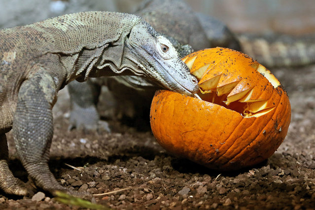 A Komodo dragon approaches on a carved pumpkin in the Zoo in Leipzig, Germany, 28 October 2015. (Photo by Jan Woitas/EPA)
