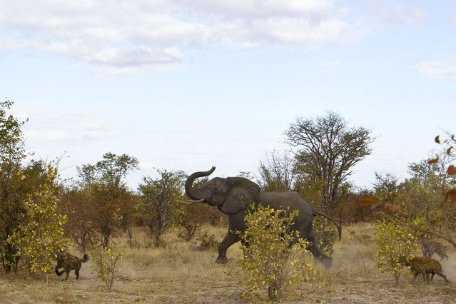 The elephant chasing the hyenas away from its calf. (Photo by Jayesh Mehta/Caters News)