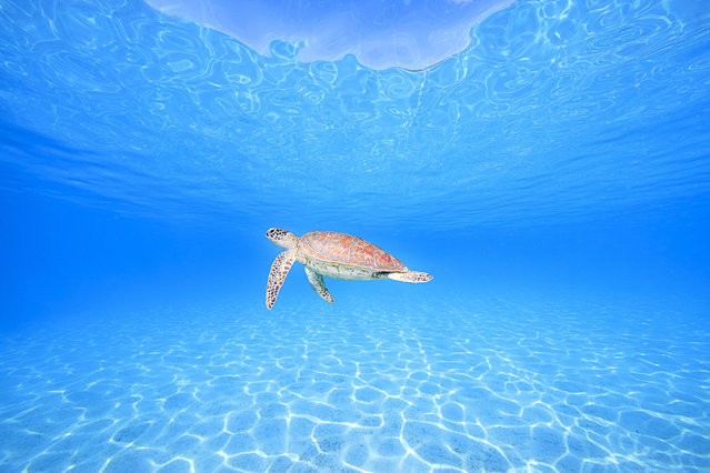 Sea turtle. (Photo by Ace Wu/Caters News Agency)
