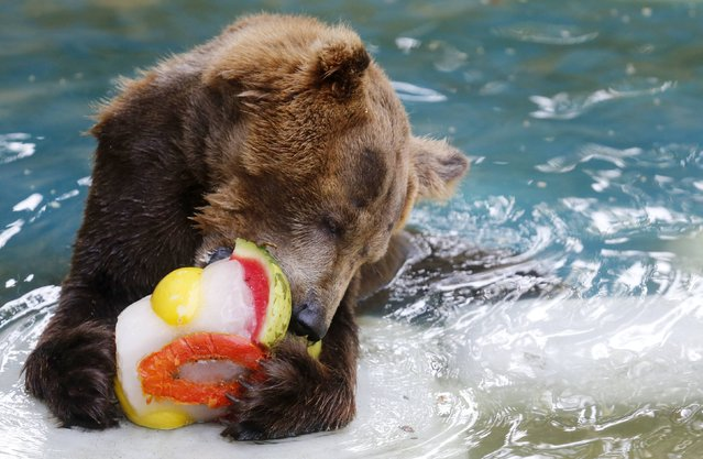 A grizzly bear eats a frozen fruits during a hot summer day at Rio de Janeiro's zoo January 13, 2015. According to a local climate institute, temperatures in Rio de Janeiro on Tuesday rose up to 34 degrees Celsius (93.2 degrees Fahrenheit). (Photo by Sergio Moraes/Reuters)