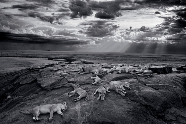 The Vumbis rest on a kopje, or rocky outcrop, near a favorite water hole. Lions use kopjes as havens and outlooks on the plains. When the rains bring green grass, wildebeests arrive in vast herds. (Photo by Michael Nichols/National Geographic via The Atlantic)