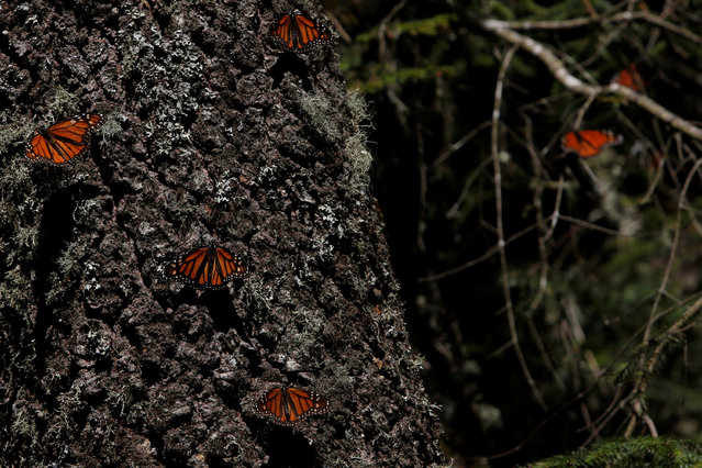Monarch butterflies rest on a tree at the Sierra Chincua butterfly sanctuary on a mountain in Angangeo, Michoacan November 24, 2016. (Photo by Carlos Jasso/Reuters)