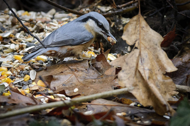A nuthatch (Sitta europaea) holds a corn seed in its beak by a bird feeder in the protected oak forest of Nagyerdo near Debrecen, 226 kms east of Budapest, Hungary, 28 December 2015. (Photo by Zsolt Czegledi/EPA)