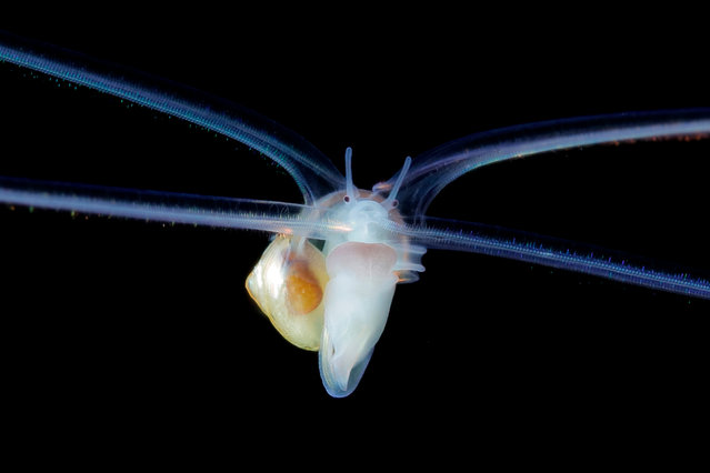 A Macgillivryia snail larva. (Photo by Ryo Minemizu/The Guardian)