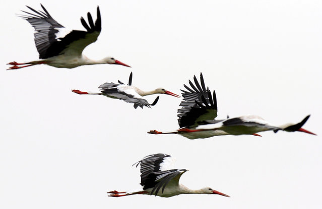 Storks fly over a meadow near Garding, northern Germany, on September 20, 2013. (Photo by Carsten Rehder/AFP Photo/DPA)