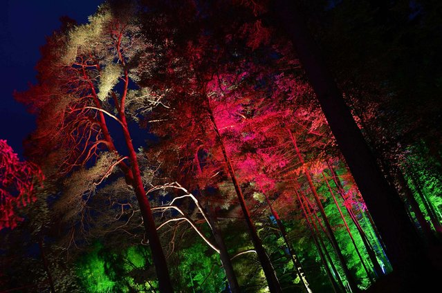 """Faskally Wood is illuminated at the launch of the annual """"Enchanted Forest"""" sound and light show, near Pitlochry, Scotland, on October 2, 2013. (Photo by Russell Cheyne/Reuters)"""