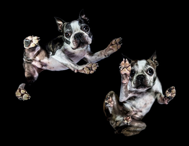 A photograph of two Boston Terriers taken from underneath on December 2016 in VA, Canada. (Photo by The Underdogs Project/Barcroft Images)