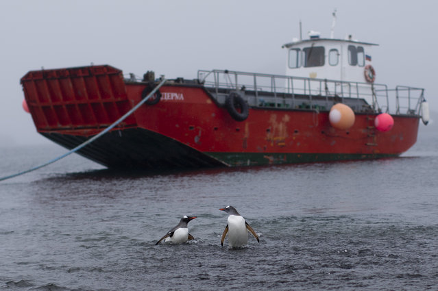 In this January 21, 2015 photo, two penguins wade in the water near the Chilean station Escudero in King George Island, Antarctica. While some tourists climb Mount Vinson, Antarctica's highest point at 16,050 feet (4,892 meters), others seek a chance to take in the views of other-worldly terrain or enjoy watching hundreds of penguins bop in and out of the water. (Photo by Natacha Pisarenko/AP Photo)