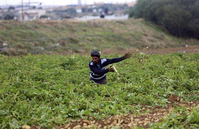 A Palestinian field hand harvests potatoes in Beit Lahiya, Gaza Strip, Monday, January 2, 2017. (Photo by Adel Hana/AP Photo)