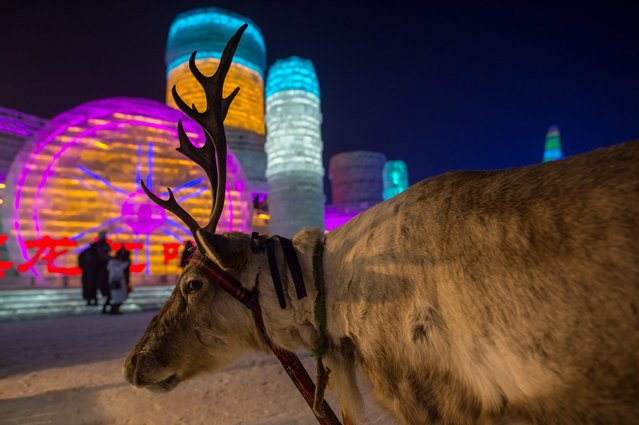 A reindeer is seen as people visit ice sculptures illuminated by coloured lights at the Harbin Ice and Snow Festival to celebrate the new year in Harbin on January 4, 2017. (Photo by Nicolas Asfouri/AFP Photo)