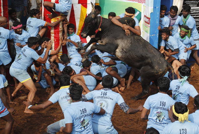 In this Thursday, January 17, 2019, photo, Indian tamers react as a fellow tamer tries to control a charging bull during a traditional bull-taming festival called Jallikattu, in the village of Allanganallur, near Madurai, Tamil Nadu state, India. (Photo by Aijaz Rahi/AP Photo)