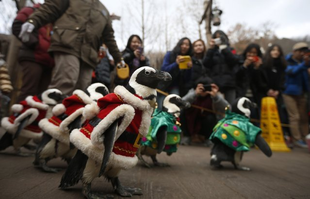 Visitors take photographs of penguins wearing Santa Claus (in red) and Christmas tree (in green) costumes during a promotional event for Christmas at an amusement park in Yongin, south of Seoul, December 18, 2013. (Photo by Kim Hong-Ji/Reuters)